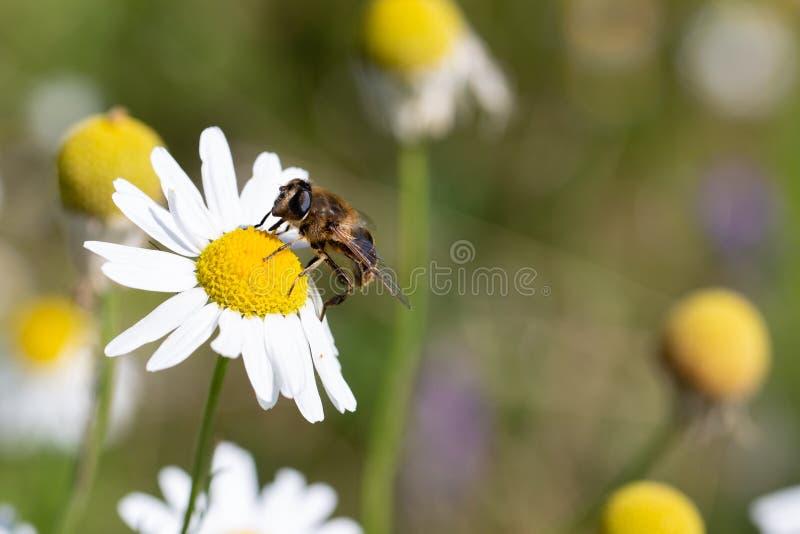 Abeja de la miel que se sienta en la margarita blanca en el campo de flores fotos de archivo