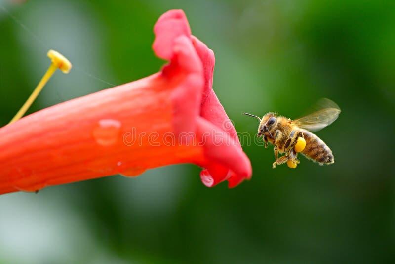 Abeja de la miel que vuela cerca de la liana roja Campsis de la flor imagen de archivo