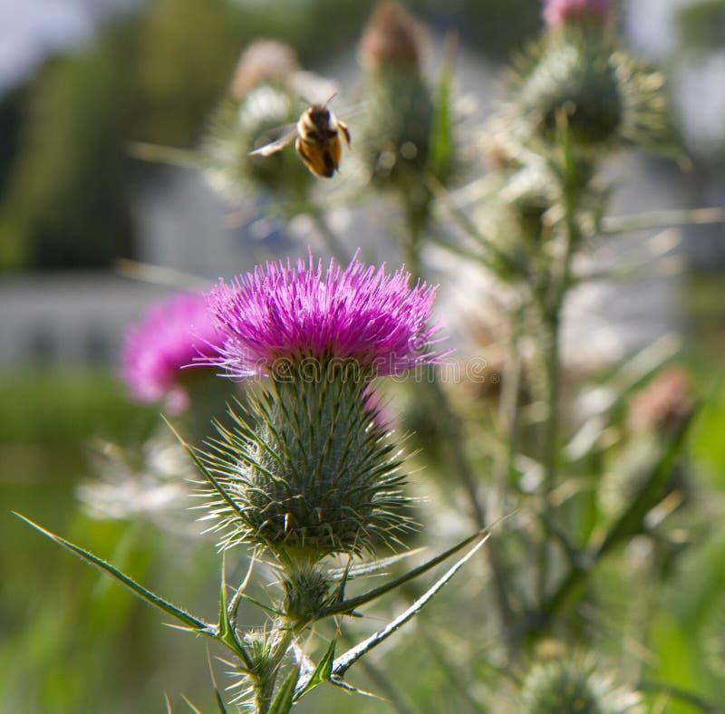 Abeja de la miel y flor del cardo fotos de archivo libres de regalías