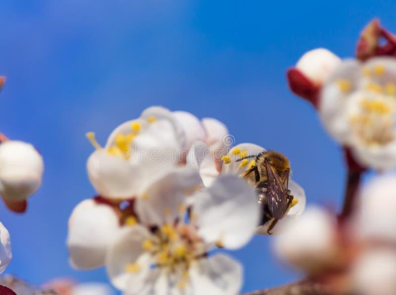 Abeja de la primavera en la flor del melocotón imágenes de archivo libres de regalías