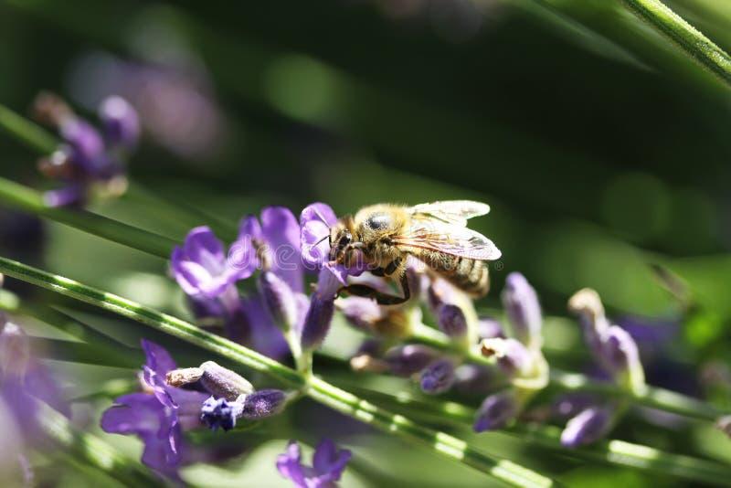 Abeja de miel sobre flor de lavanda imagen de archivo