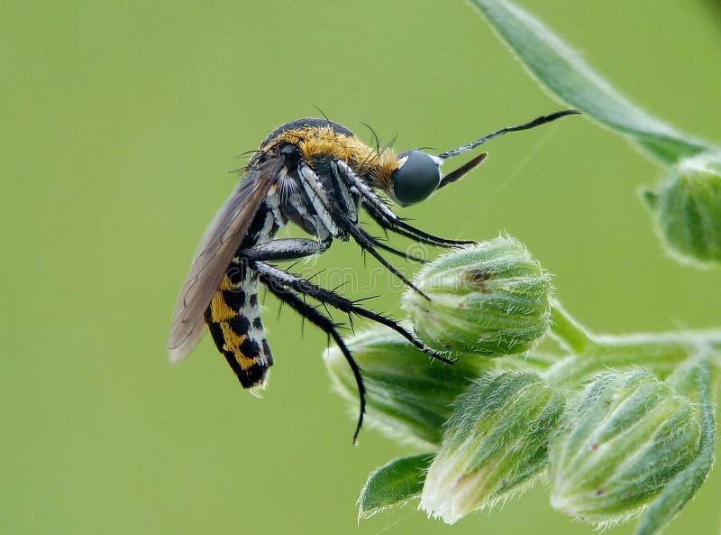 abeja del cucko imagen de archivo libre de regalías