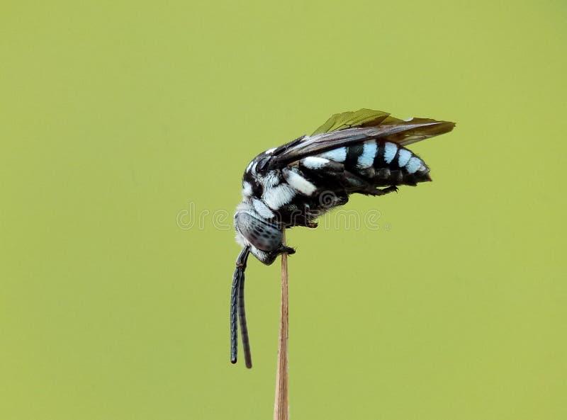 abeja del cucko fotos de archivo