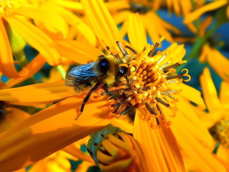Abeja del insecto en la flor amarilla brillante imágenes de archivo libres de regalías