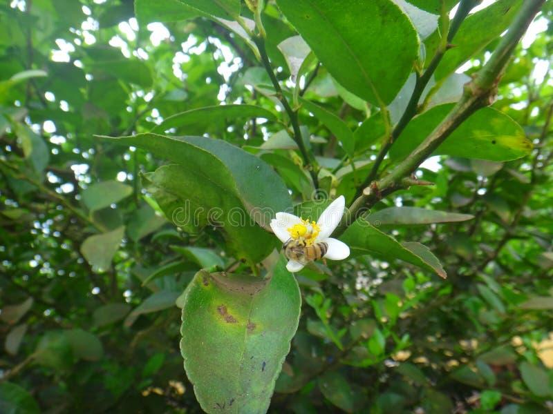 Abeja del insecto en la flor blanca de la planta del limón fotografía de archivo libre de regalías