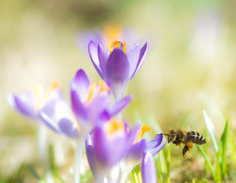 Abeja del vuelo que poliniza una flor púrpura del azafrán imágenes de archivo libres de regalías