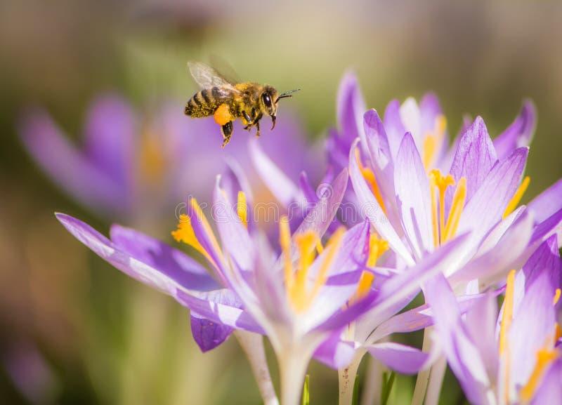 Abeja del vuelo que poliniza una flor púrpura del azafrán imagen de archivo libre de regalías