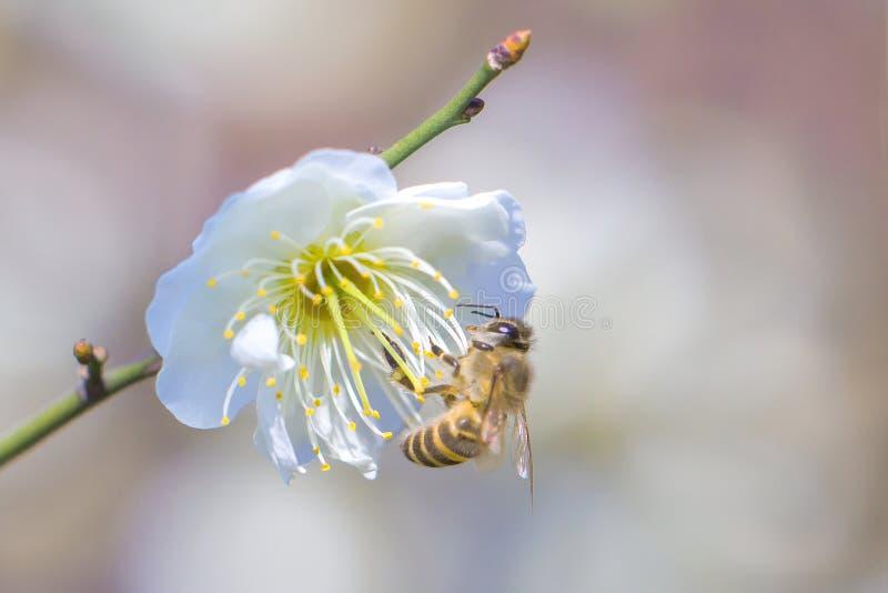 Abeja del vuelo y flor del melocotón foto de archivo libre de regalías