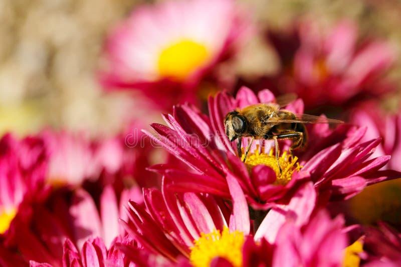 Abeja en crisantemo foto de archivo libre de regalías