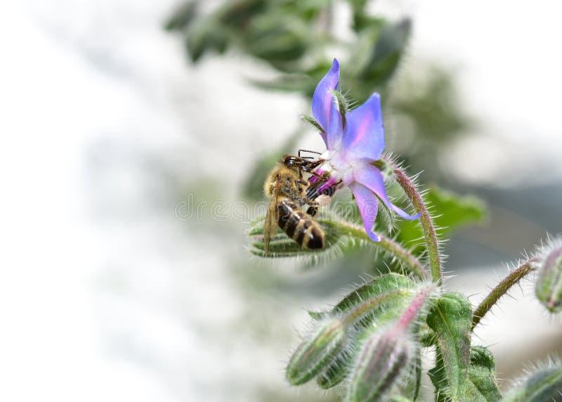 """Abeja en abeja de la miel del †azul de la flor """"en el flor de la borraja fotografía de archivo libre de regalías"""
