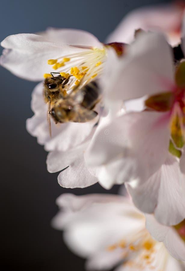 Abeja en el fondo macro de la estación de primavera de las flores de la almendra imágenes de archivo libres de regalías