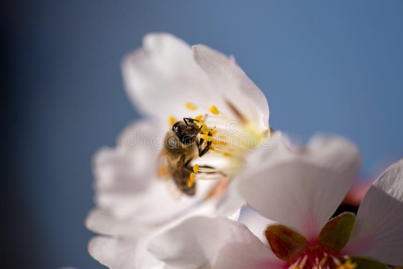 Abeja en el fondo macro de la estación de primavera de las flores de la almendra fotografía de archivo libre de regalías