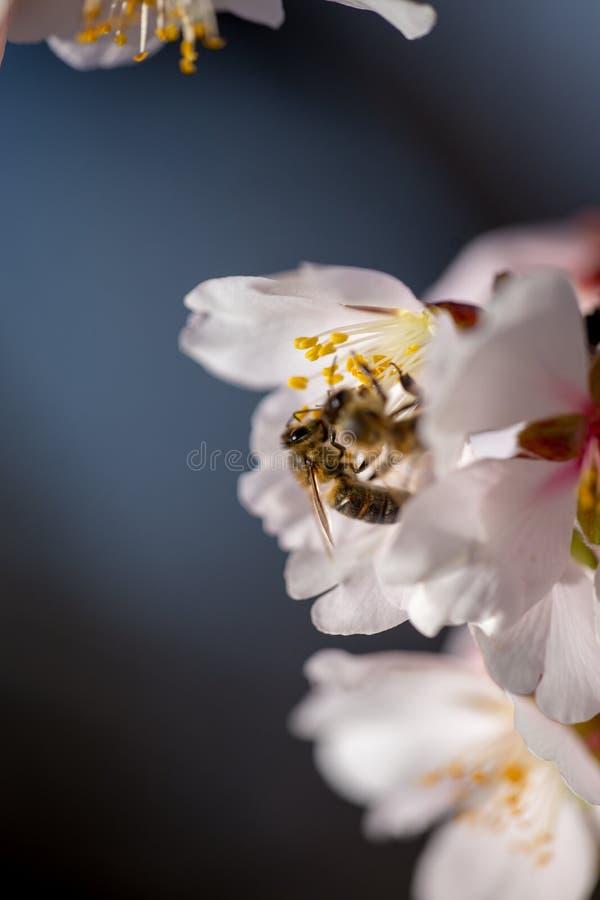 Abeja en el fondo macro de la estación de primavera de las flores de la almendra imagen de archivo