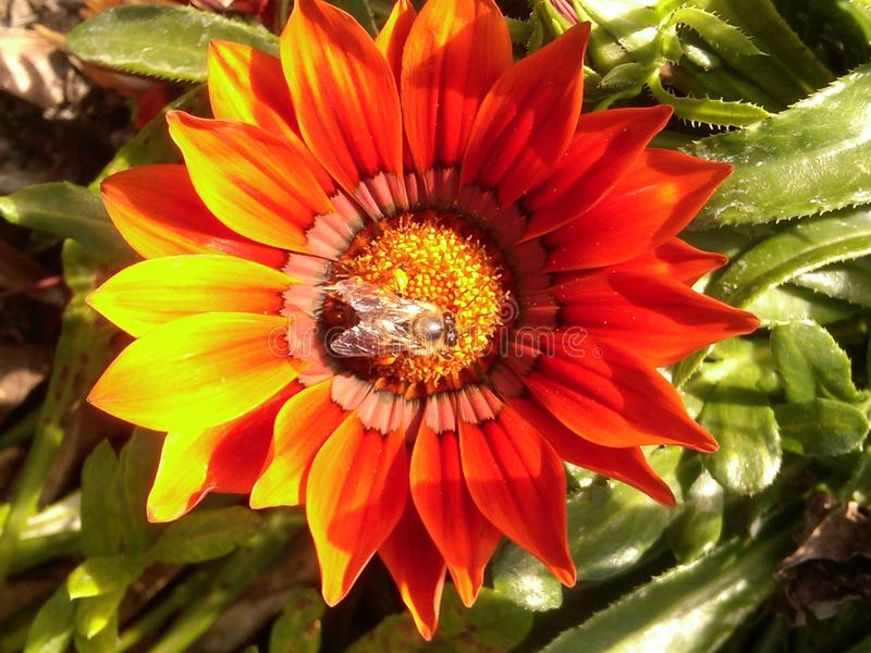 Abeja en flor fotos de archivo