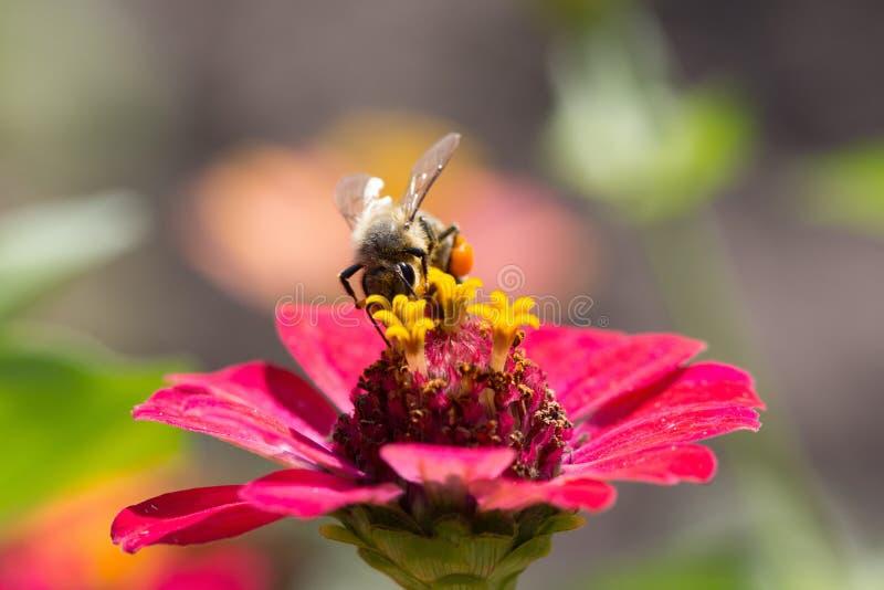 Abeja en flor imagen de archivo
