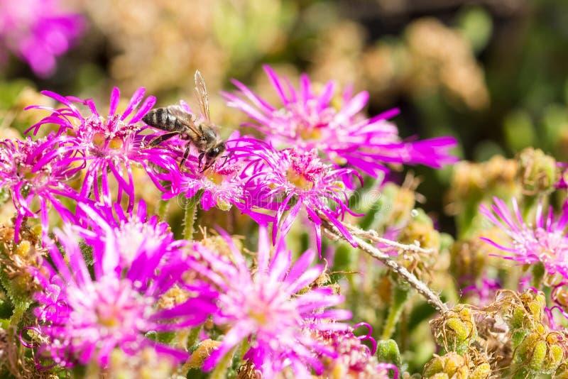 Abeja en flor p?rpura que recoge el polen fotografía de archivo libre de regalías