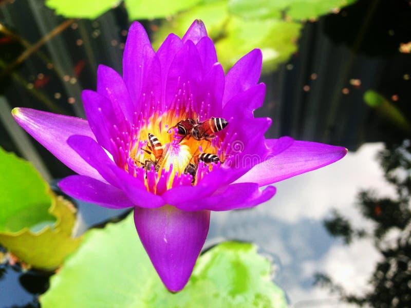 Abeja en la charca de agua roja del loto imagen de archivo libre de regalías