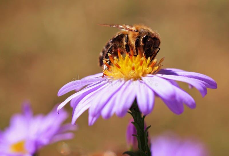 Abeja en la flor imagen de archivo