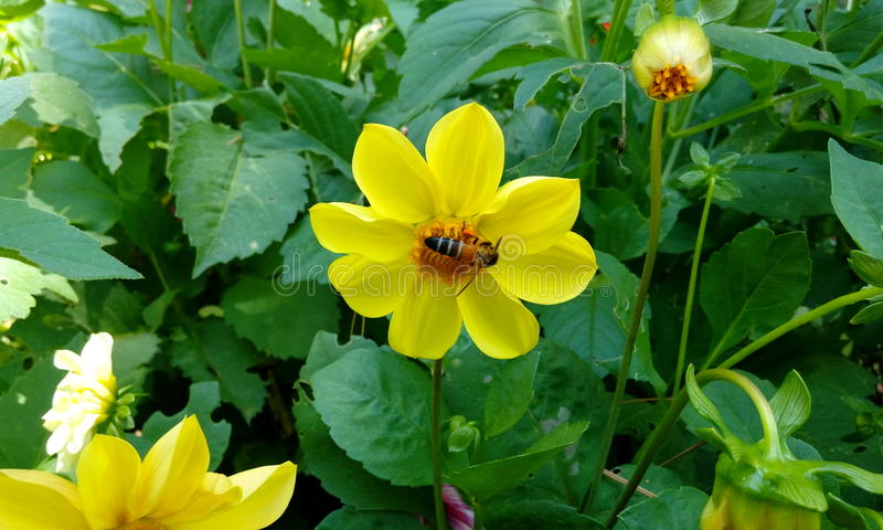 Abeja en la flor imagenes de archivo