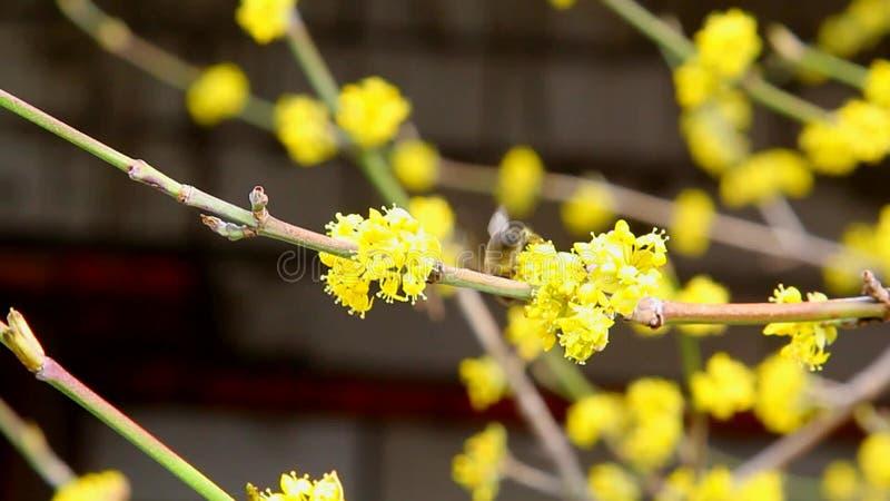 Abeja en la flor amarilla almacen de video