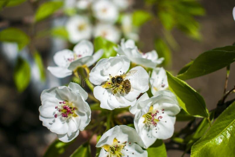 Abeja en la flor blanca foto de archivo libre de regalías