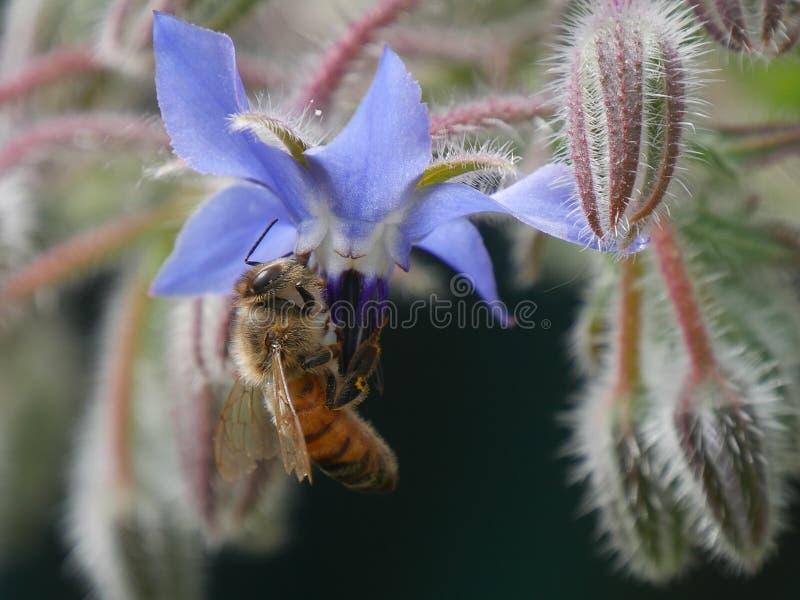 Abeja en la flor de la borraja fotos de archivo libres de regalías