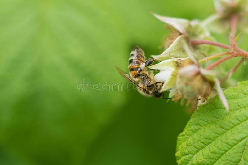 Abeja en la flor de la frambuesa en el jard?n fotos de archivo libres de regalías