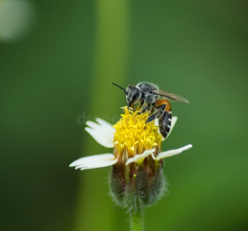 Abeja en la flor de la hierba fotografía de archivo libre de regalías