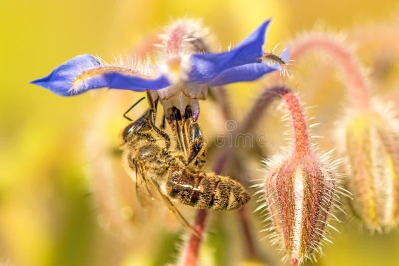 Abeja en la flor de una borraja fotografía de archivo