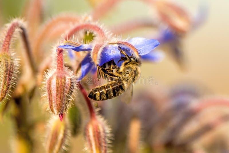 Abeja en la flor de una borraja fotos de archivo