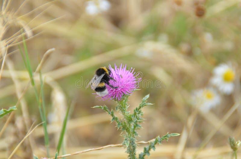 Download Abeja en la flor del cardo imagen de archivo. Imagen de jardín - 64201169