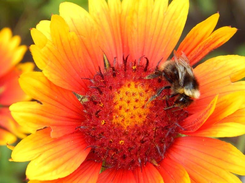 Abeja en la flor en mi jardín foto de archivo