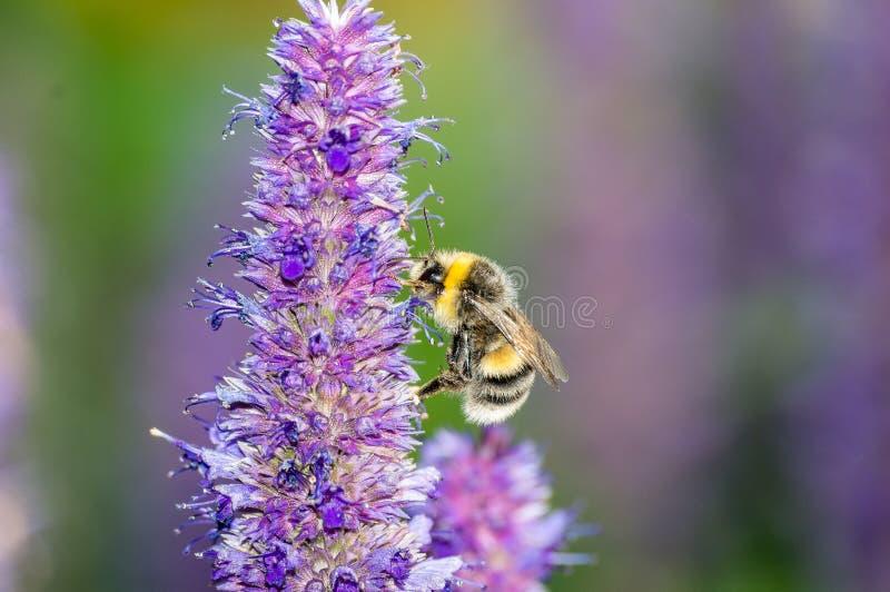 Abeja en la flor púrpura en jardín en verano foto de archivo