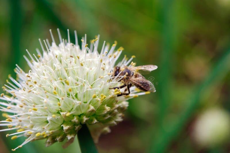 Abeja en la inflorescencia de cebollas en el jardín foto de archivo libre de regalías