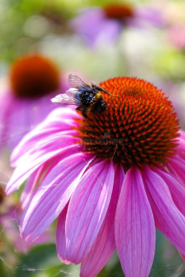 Abeja en la abeja que sorprende, abeja de la flor polinizada de la flor roja fotografía de archivo