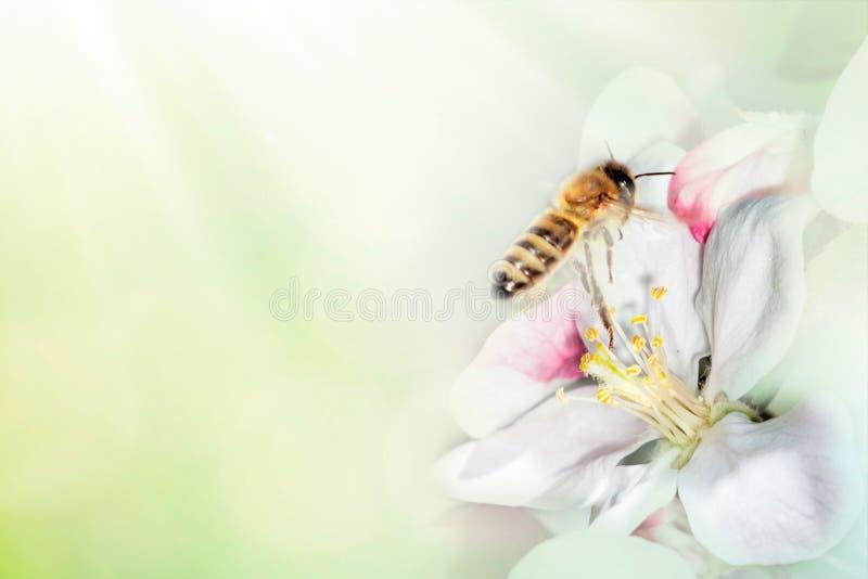 Abeja en la rama de la cereza del flor en macro del primer de la primavera en la naturaleza en fondo floral azul verde y amarillo foto de archivo