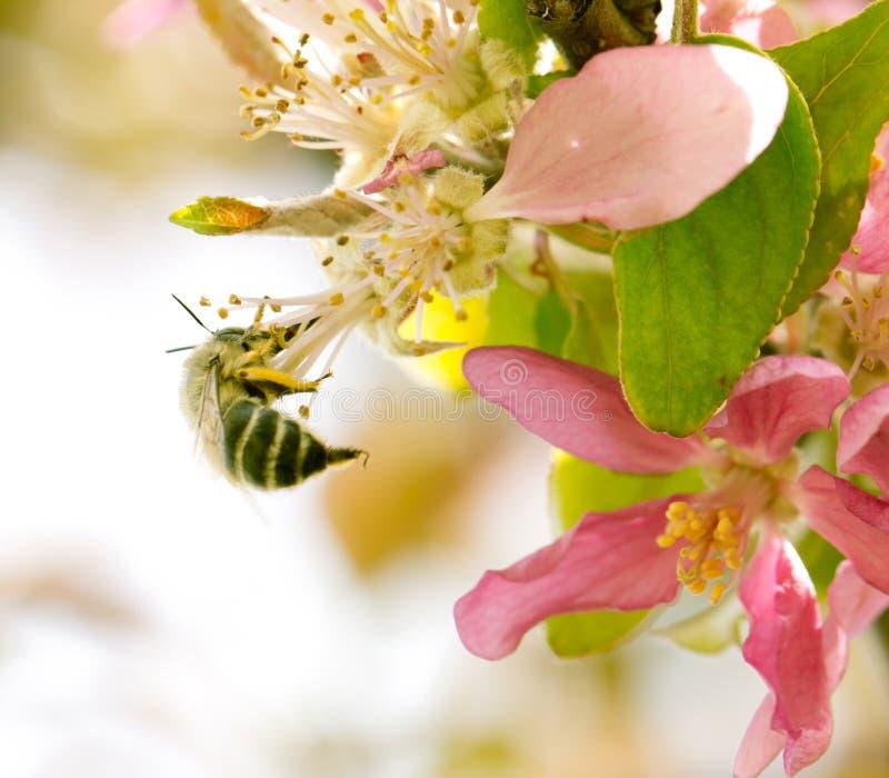 Abeja en las flores de la manzana en naturaleza fotos de archivo libres de regalías