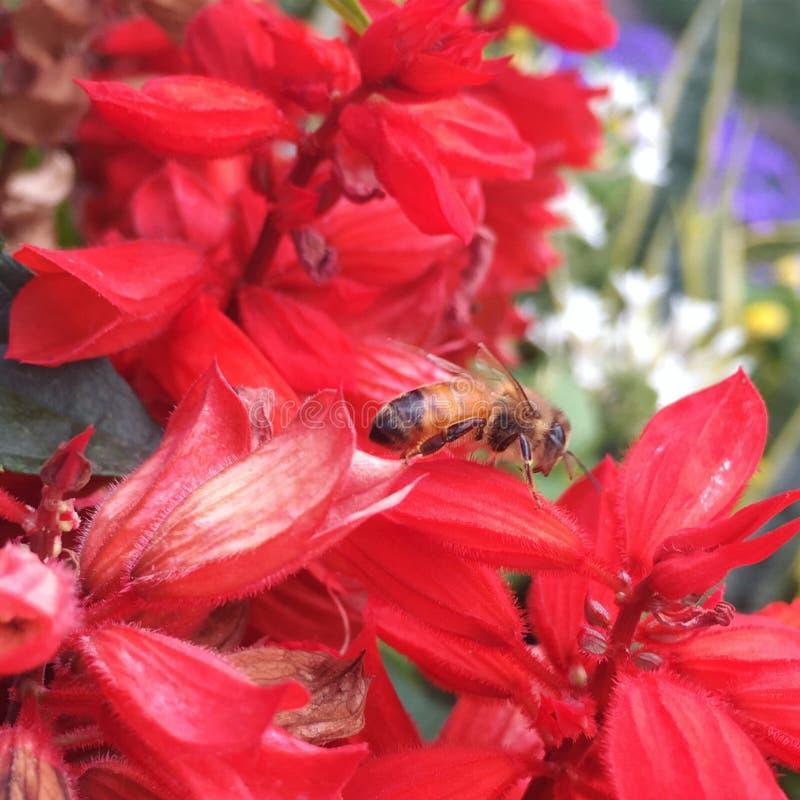 Abeja en las flores rojas fotografía de archivo
