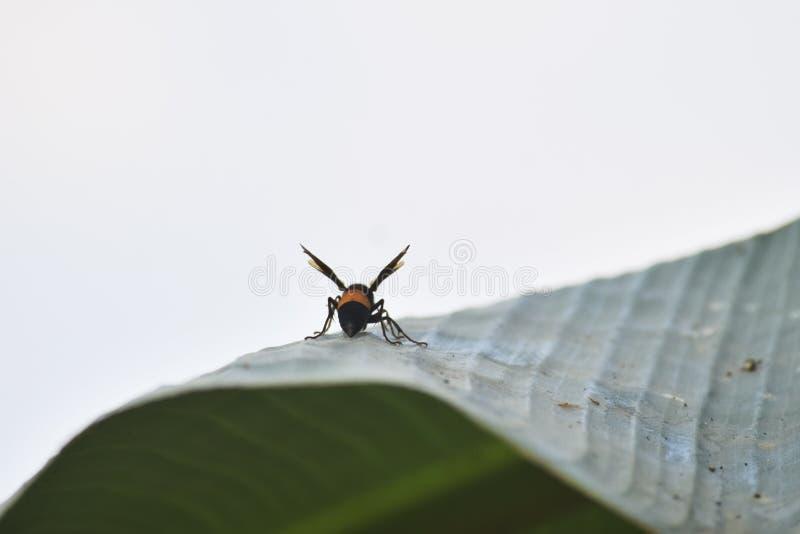 Abeja en las piernas amarillas del color seis del vuelo blanco del cielo del verde del árbol de plátano imagenes de archivo