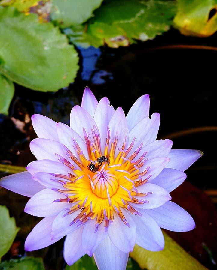 Abeja en loto del polen fotografía de archivo libre de regalías