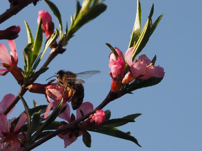 Abeja en una almendra rosada de la flor del arbusto imagen de archivo libre de regalías