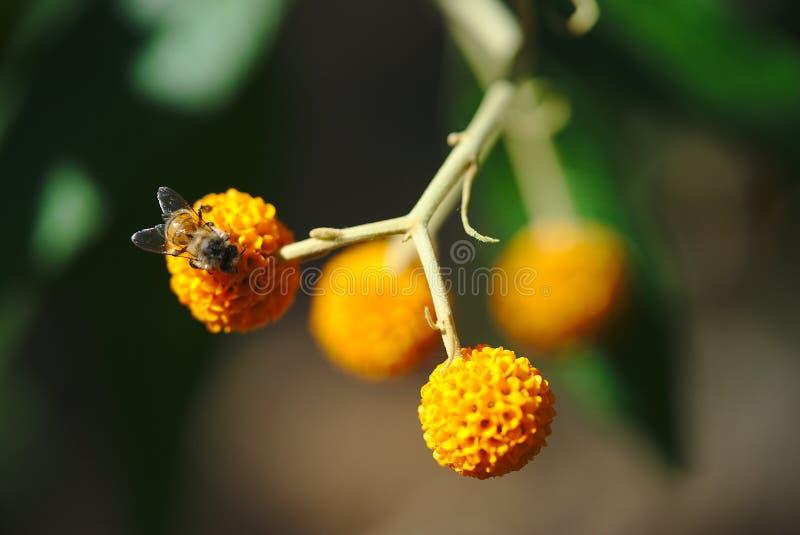 Abeja en una bola de la flor del buddleia foto de archivo
