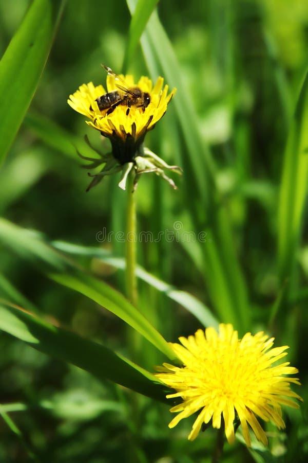 Abeja en una flor amarilla imagen de archivo