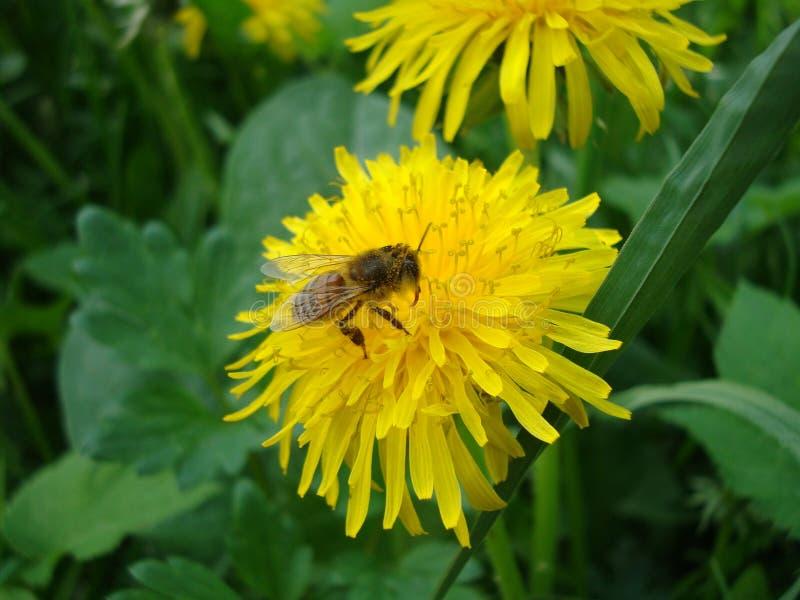 Abeja en una flor amarilla del diente de león foto de archivo libre de regalías