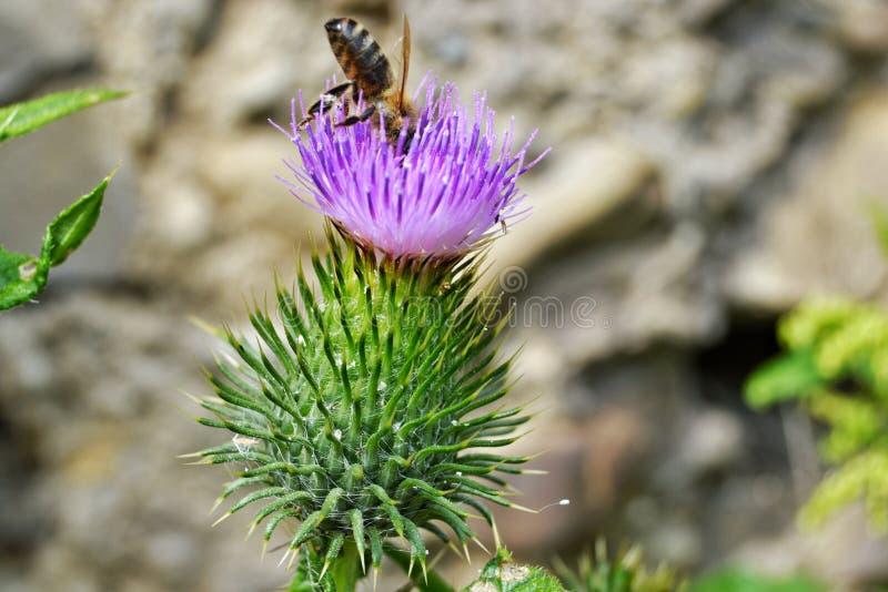 Abeja en una flor imagen de archivo libre de regalías