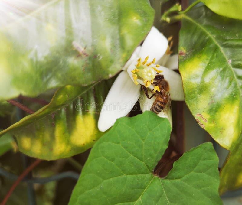Abeja en una flor de la fruta cítrica imagen de archivo