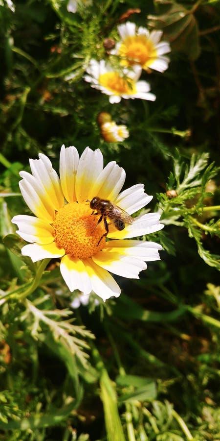 Abeja en una flor de los perennis del bellis foto de archivo
