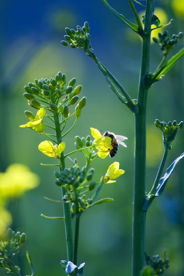 Abeja en una flor de oro del canola fotografía de archivo