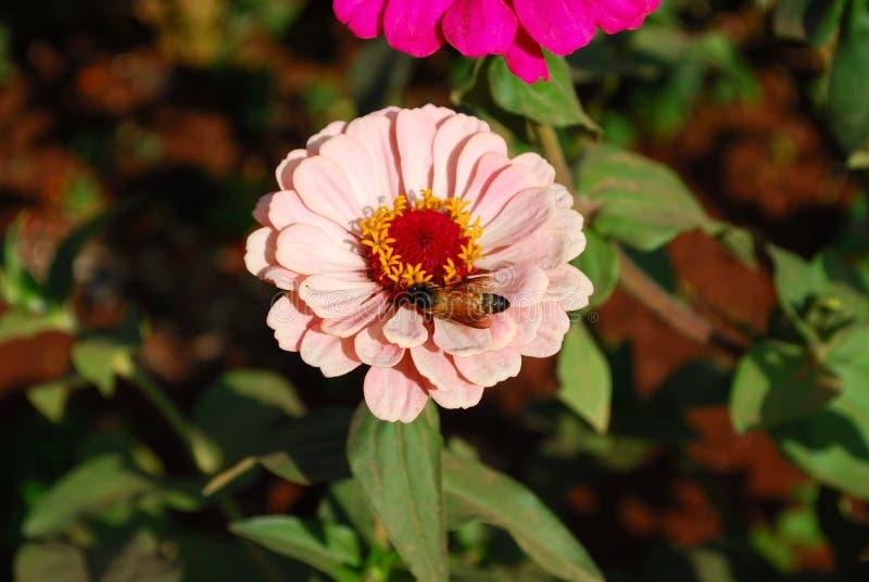 Abeja en una flor hermosa foto de archivo
