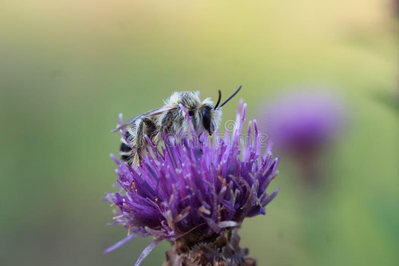 Abeja en una flor púrpura del cardo foto de archivo libre de regalías